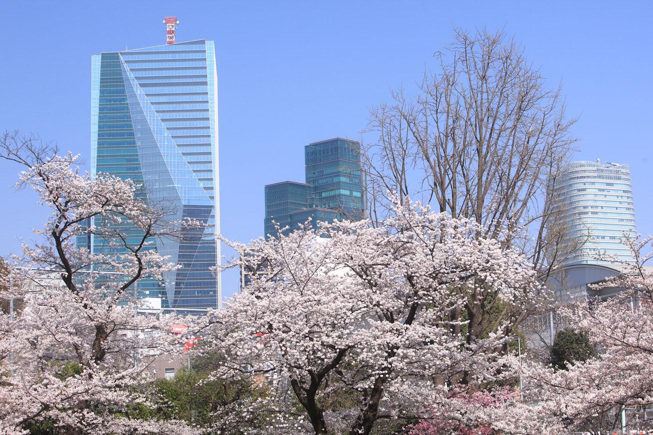 高層ビル群と桜